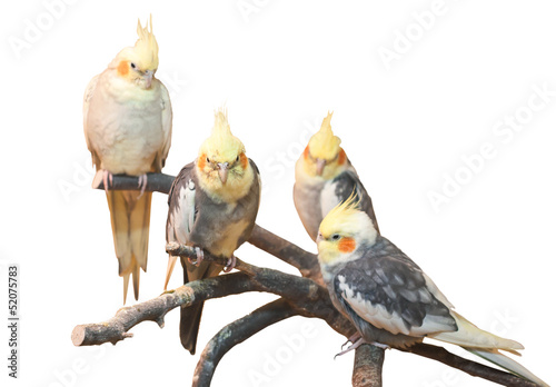 Valokuva  group of cockatiels, isolated on white