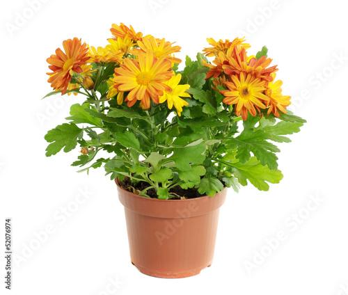 Photo Orange chrysanthemum