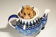 Hamster In A Colorful Old Jug ...