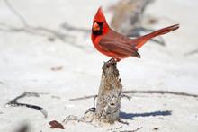 Northern Cardinal On Beach
