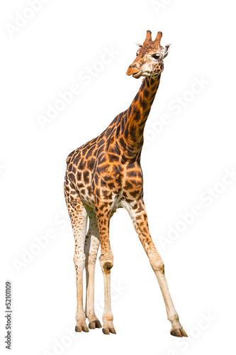 Papiers peints Girafe Giraffe isolated on white