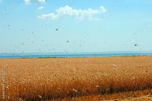 Foto Swarm of locusts in wheat field