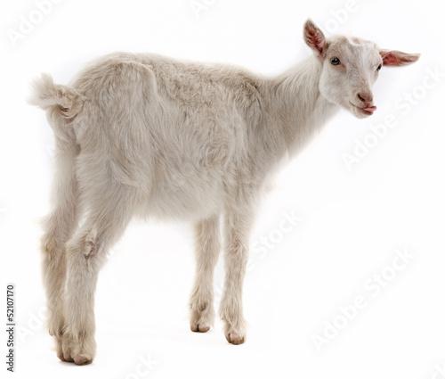 Fotografia a goat isolated on white background