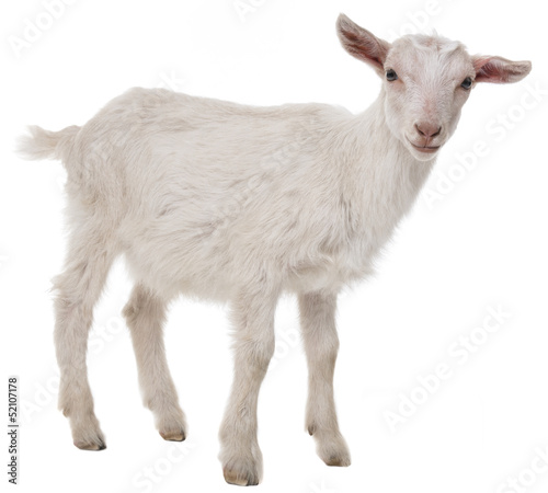 a goat isolated on a white background Canvas Print