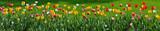 Fototapeta Tulipany - Floral panorama