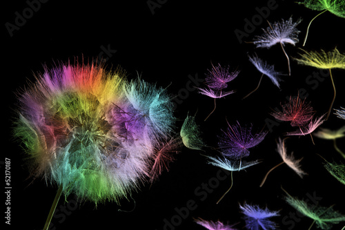 Fototapety, obrazy: colored dandelion