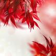 canvas print picture - japanischer ahorn rot hintergrund
