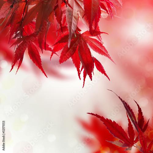 japanischer ahorn rot hintergrund