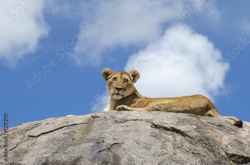 Fototapety, obrazy: Rock lion