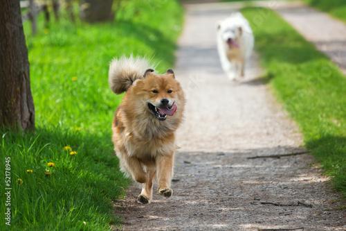 Fototapeten Natur zwei Hunde rennen auf einem Feldweg