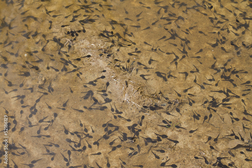 Valokuva  Landscape of toad tadpoles on a lake
