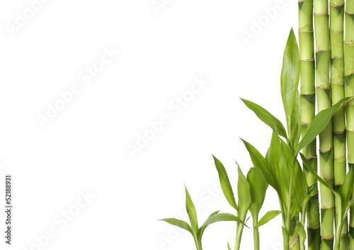szczesliwy-bambus-z-miejsca-kopiowania