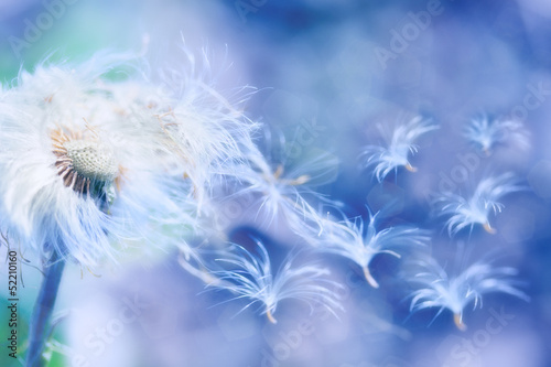 dandelion blowing