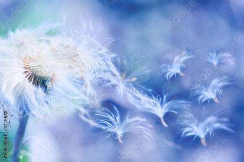 Poster Pissenlit dandelion blowing
