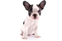 French Bulldog Puppy Portrait ...