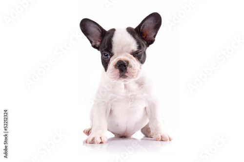 Poster Bouledogue français French bulldog puppy portrait over white background