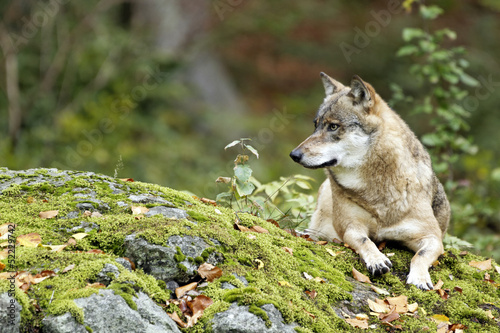 Photo  Wolf (Canis lupus)