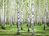 Fototapeta Fototapety z naturą - First spring greens in birch grove