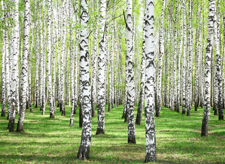Fototapeta First spring greens in birch grove
