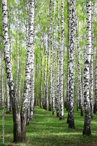wiosenne-zielenie-w-brzozowym-gaju