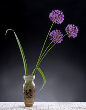 Violet Garlic Flowers In Vase