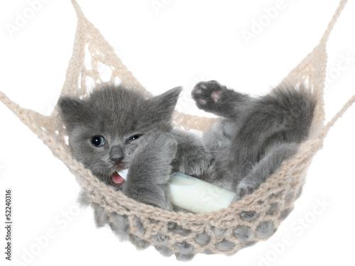 Keuken foto achterwand Kat Cute gray kitten sucks milk bottle in a hammock