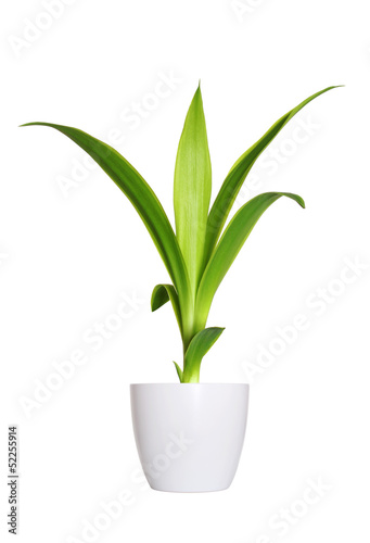 Fotografia young sprout of Yucca a potted plant isolated over white