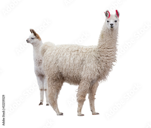 Spoed Foto op Canvas Lama Female llama with a baby