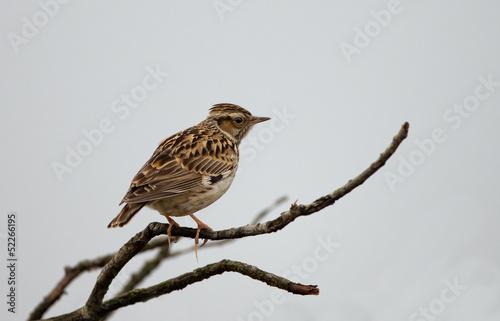 Valokuva  Wood lark on a twig