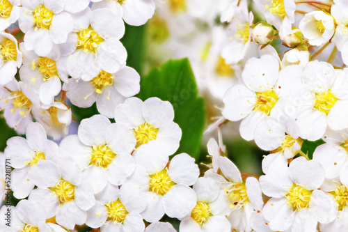 Recess Fitting Macro Beautiful white flowering shrub Spirea aguta (Brides wreath).