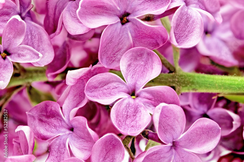 Canvas Prints Macro Beautiful Bunch of Lilac close-up