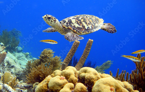 Poster Tortue Hawksbill Turtle