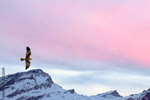 In de dag Eagle A kite eagle osprey on the sunset mountain pink sky background