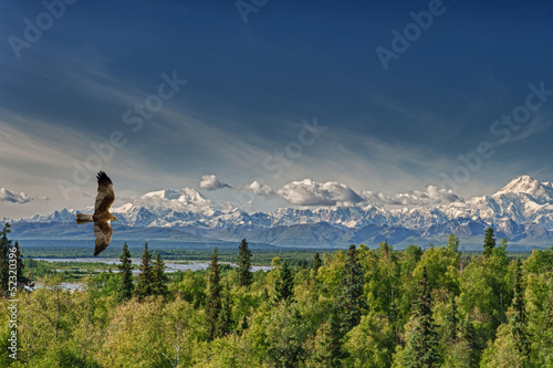 In de dag Eagle A kite eagle osprey on the Alaska deep blue sky background
