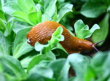 Limace Orange Sur Feuillage