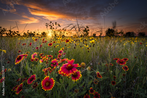 Poster Texas Texas Wildflowers at Sunrise