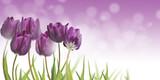 Fototapeta Kwiaty - tulipany