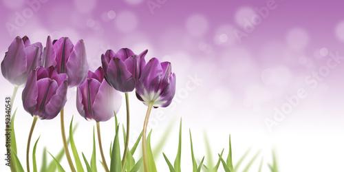 Plakat w ramie Fioletowe tulipany