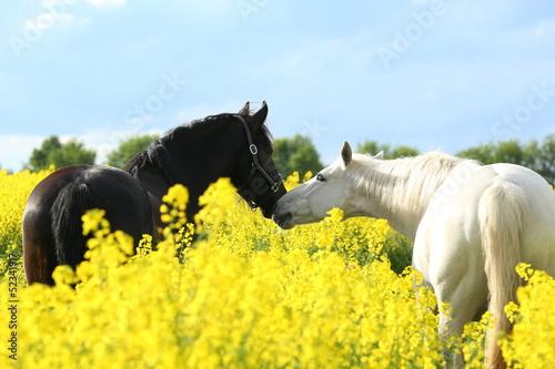 Foto-Schmutzfangmatte - Zwei Pferde im Raps (von Nadine Haase)