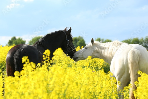Foto-Flächenvorhang ohne Schienensystem - Zwei Pferde im Raps