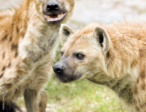 Aluminium Prints Hyena Wild Spotted Hyenas on the Hunt