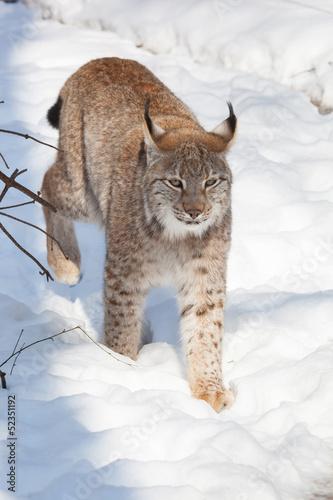 Papiers peints Lynx lynx in snow