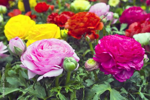 Obraz na plátne Bright spring time flower Raninculus (R. asiaticus).