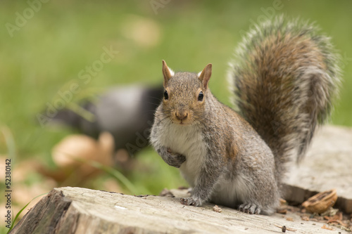 Tuinposter Eekhoorn Isolated grey squirrel looking at you