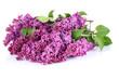 bouquet light violet lilac