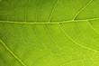 canvas print picture - Blattadern netzwerkstruktur der natur