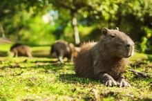 Capybara Relaxed (Hydrochoerus Hydrochaeris)