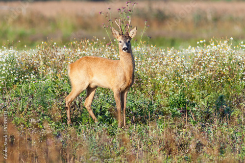 Fotobehang Ree Roe deer buck