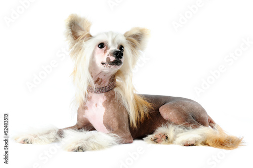 Chinese crested dog portrait isolated on white Poster