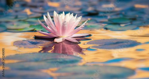 Fotografía ninfea fiore acquatico 9275